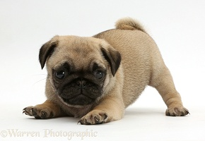 Playful Pug puppy in play-bow
