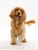 Golden Cocker Spaniel dog walking