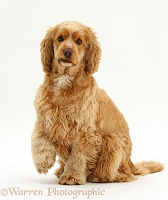 Golden Cocker Spaniel dog sitting