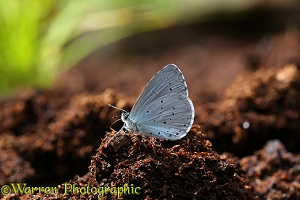 Holly Blue Butterfly at 'salt lick' on peat