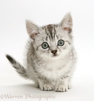 Silver tabby Bengal-cross kitten
