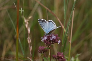 Chalkhill Blue butterfly male
