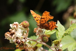 Comma Butterfly female feeding on Bramble