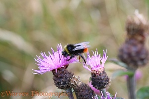 Early Bumblebee visiting Knapweed