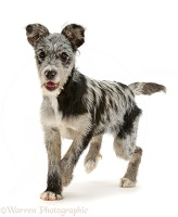Blue merle mutt puppy trotting