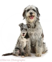 Blue merle Cadoodle and mutt pup