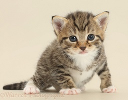Cute tabby kitten on beige background