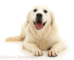 Smiley Golden Retriever