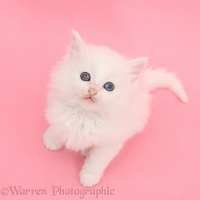 White kitten on pink background
