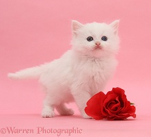 White kitten with red rose on pink background