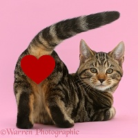 Tabby cat - Hit the Love button baby!