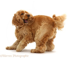 Golden Cocker Spaniel dog turning on the spot