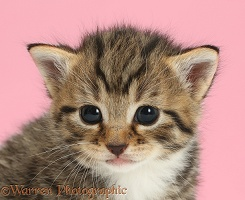 Adorable tabby kitten on pink background