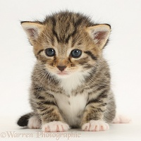 Cute tabby kitten, 3 weeks old