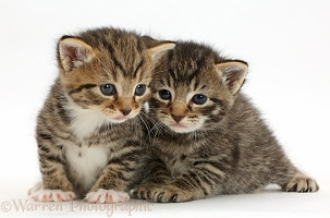 Cute baby tabby kittens