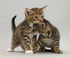Tabby kittens standing on grey background
