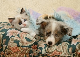 Birman-cross kitten and sleepy Sheltie pup under a scarf