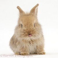 Cute baby Lionhead-cross rabbit with tongue out