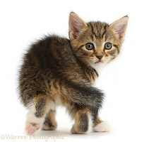 Cute tabby kitten looking round
