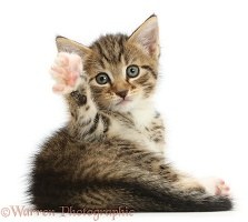 Cute tabby kitten waving