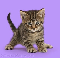 Tabby kitten crouched in funny pounce pose