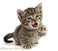 Small tabby kitten with raised paw and open mouth