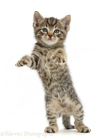 Small tabby kitten standing with raised paws