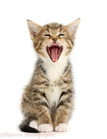 Tabby kitten sitting and yawning