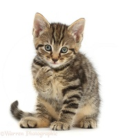 Tabby kitten sitting with raised paw
