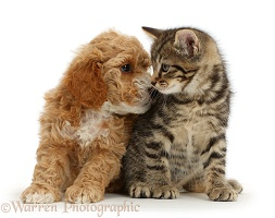 Cockapoo puppy looking lovingly at tabby kitten
