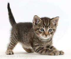 Tabby kitten in play-bow posture