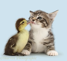 Duckling tweaking the lip of tabby kitten