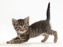 Small tabby kitten in play-bow posture