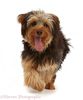 Yorkipoo dog running