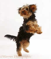 Yorkipoo dog jumping up playfully