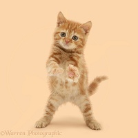 Red tabby kitten reaching out