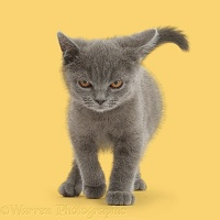 Blue British Shorthair kitten walking with menace
