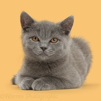Blue British Shorthair kitten on yellow background