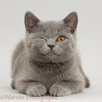 Blue British Shorthair kitten winking on grey background