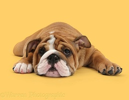 Bulldog pup lying sprawled out and can't be bothered