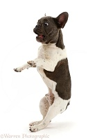 French Bulldog jumping back in surprise