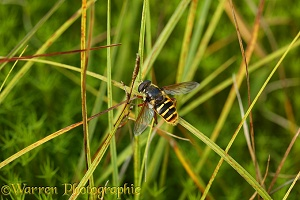 Bog Hoverfly among sedge and Sphagnum