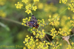 Bug Fly male on Wild Parsnip