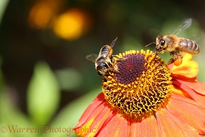 Leaf-cutting Bee and Honey Bee on Helenium