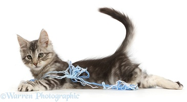 Silver tabby kitten lying stretched out with wool