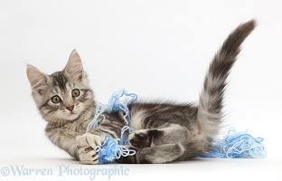 Silver tabby kitten playing with wool