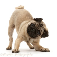 Pug puppy in play-bow