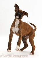 Playful brindle Boxer puppy