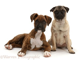 Pug puppy sitting with Boxer puppy
