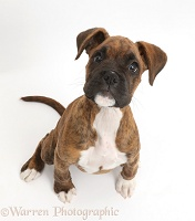 Brindle Boxer puppy sitting looking up